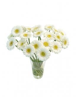 Bouquet of101 white gerberas | Flowers for Holiday